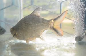 ikan Kapiak