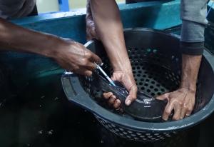 Penyuntiksn Induk Ikan Baung